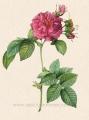 L-052-turbinata-francofurtana-frankfort-rose-pink.jpg
