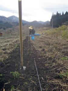 ジャガイモ植え付け