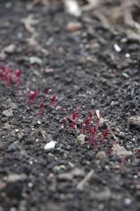 発芽一週間のアマランサス