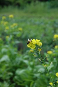 大根の花と蜂