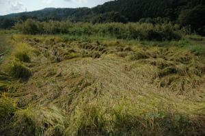 101007_稲刈り前の田んぼの様