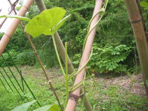 折られたインゲンの葉