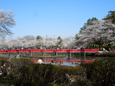 八橋&桜の光景