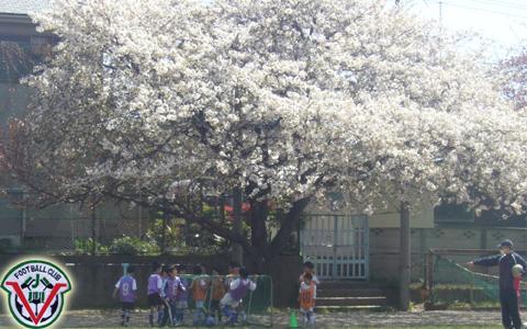 桜の木下のコピー