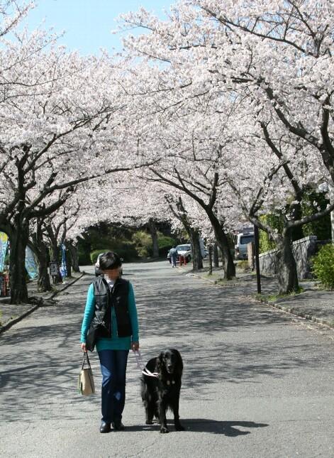 ココと桜2