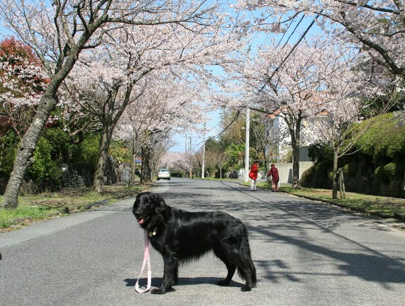 ココと桜5