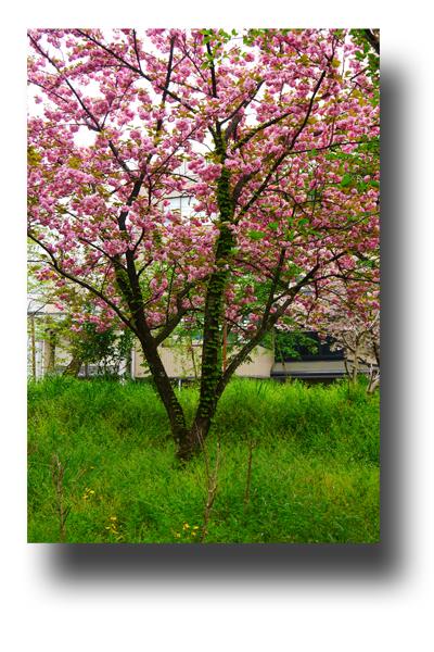 平野神社120404