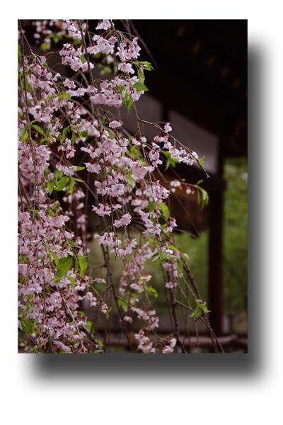 平野神社120405