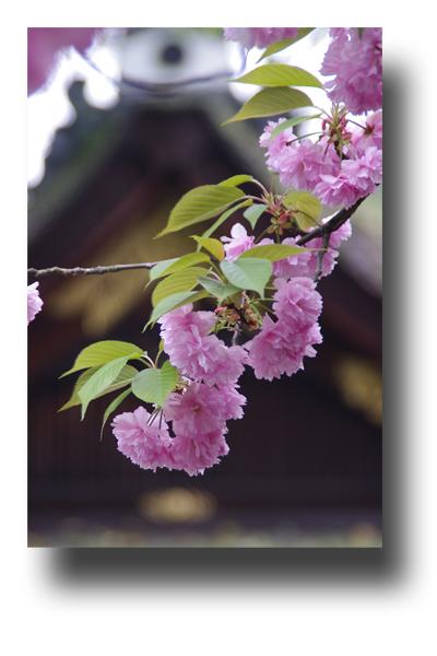 平野神社120407