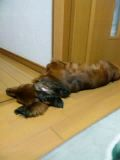 大きい割にスリムなソーセージ犬