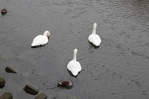 白鳥12・2・11p4