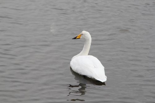 白鳥12・2・11p2