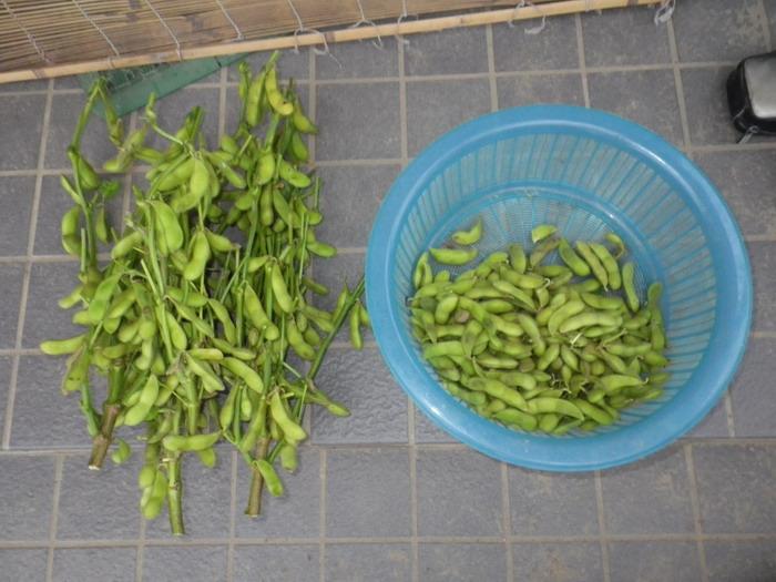 収穫枝豆14_09_19