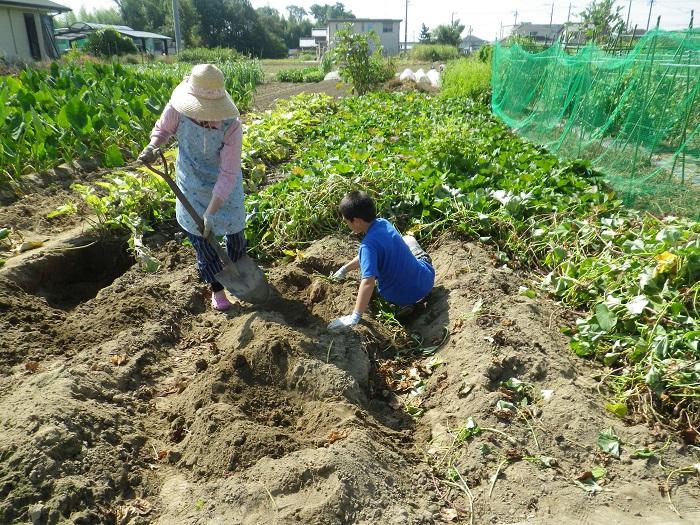 サツマイモ掘り1_14_09_21
