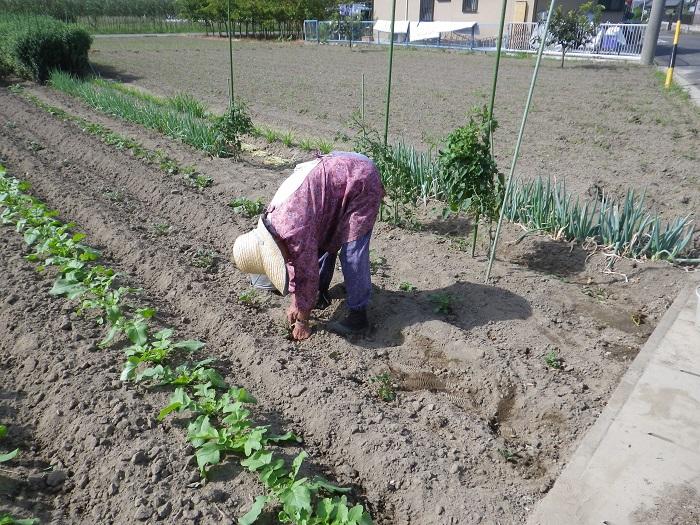 ジャガイモの芽掻き14_09_21