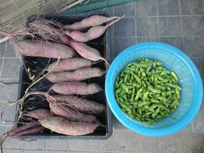 夕方の収穫14_09_21
