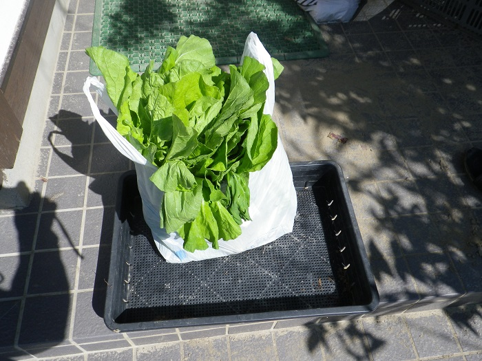白菜間引き菜14_09_28