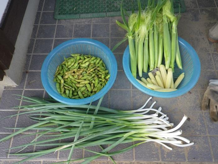 収穫ヤングコーン14_09_28