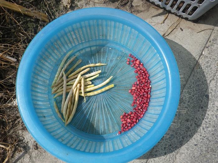 小豆初収穫14_10_04