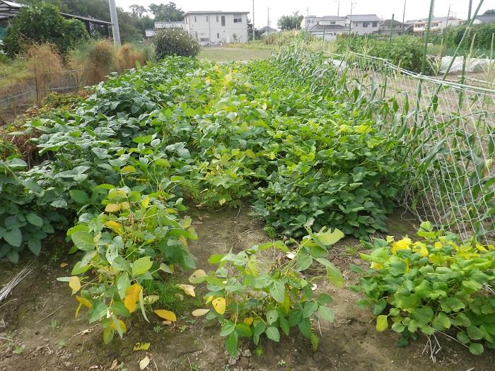 豆畑14_10_04