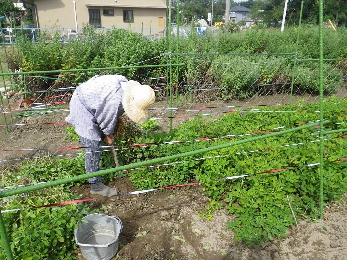 落花生の収穫14_10_11
