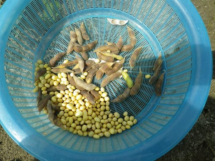大豆の出来栄え14_10_11