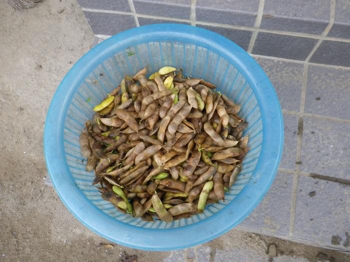 だだ茶豆収穫14_10_13