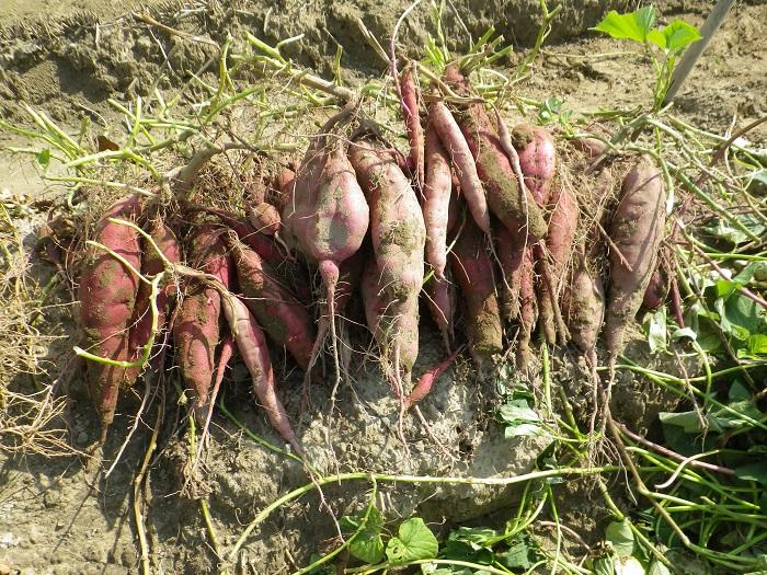 サツマイモ収穫1_14_10_18