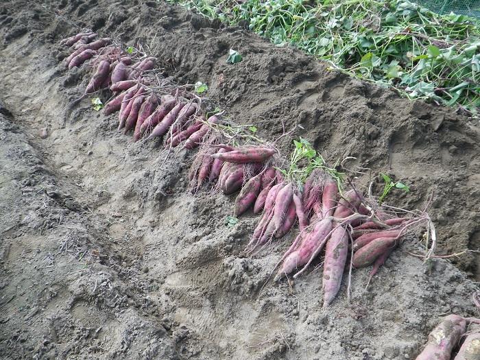 サツマイモ収穫2_14_10_18