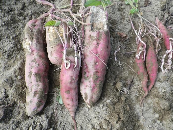 サツマイモ収穫3_14_10_18