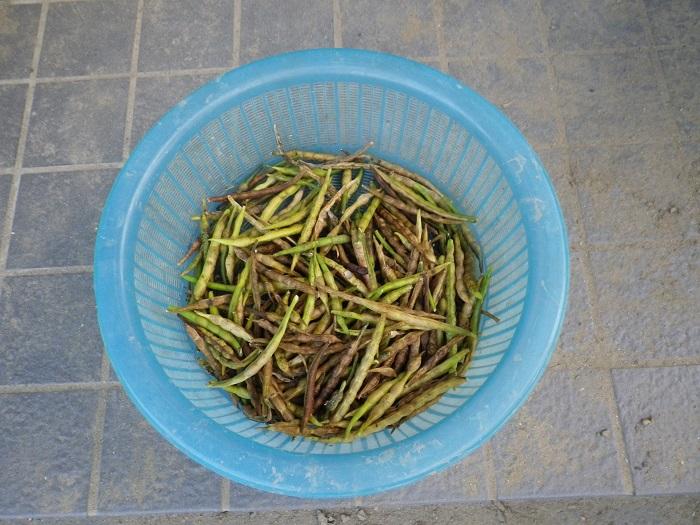 収穫小豆14_10_26