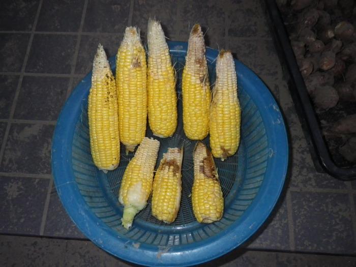 収穫スイートコーン14_10_28