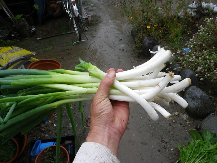 収穫ネギ14_11_02