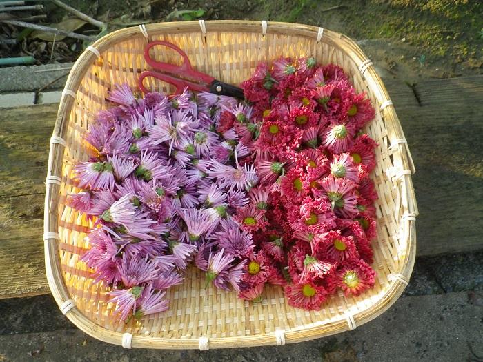 収穫食用菊14_11_03