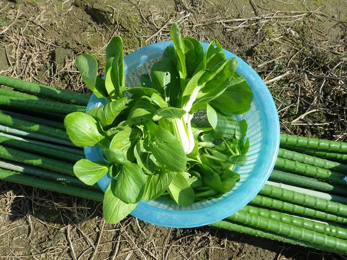 収穫青梗菜14_11_03