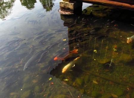 池 カイツブリ 075