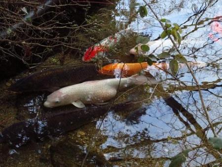 池 カイツブリ 122