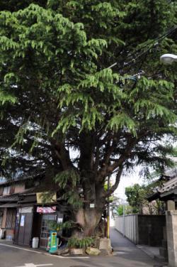 みかどパンとヒマラヤ杉の巨木