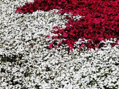 紅白芝桜1