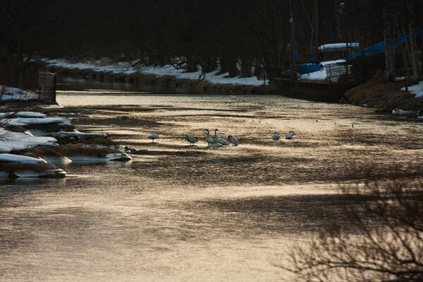 止別川の白鳥