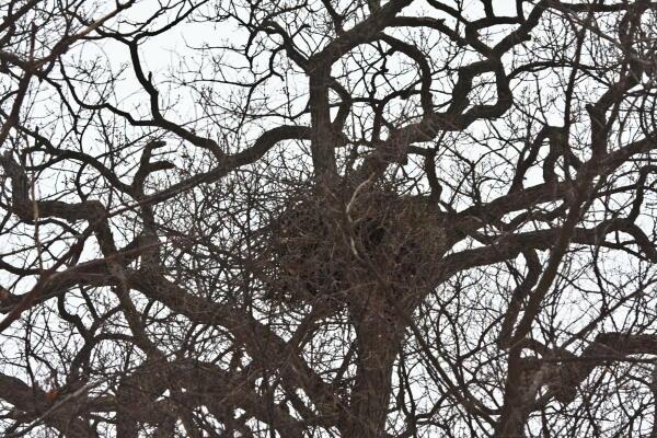 オジロワシの巣
