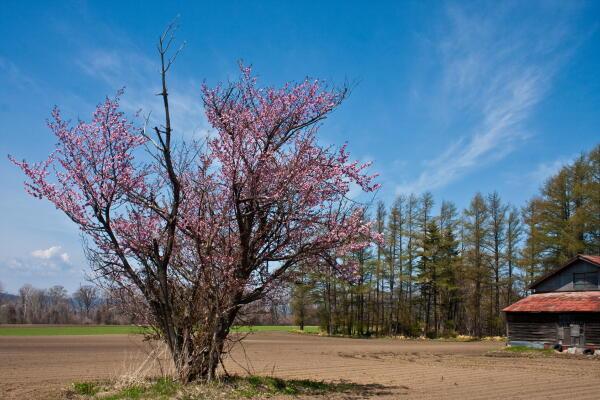 網走気象台 桜の開花宣言