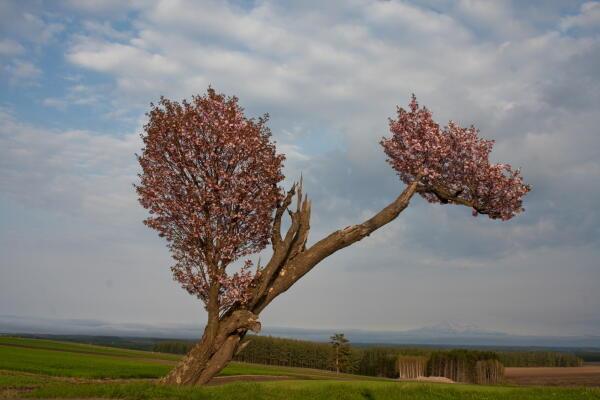 道路脇の桜