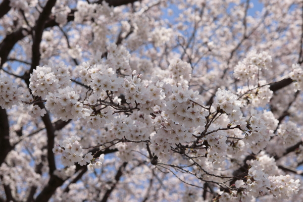 桜2120416