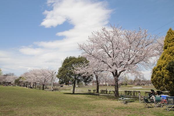 並ぶ桜120412