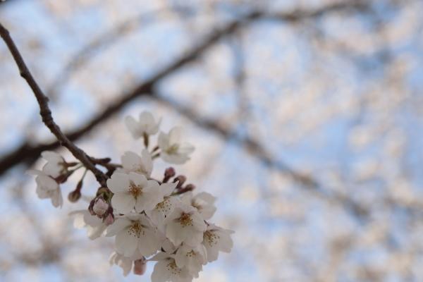 桜1120416