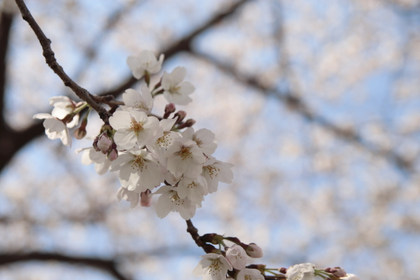 桜5120416
