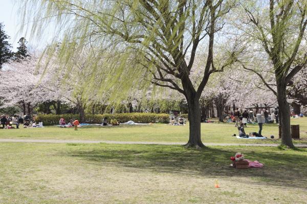 柳と桜の風景120412
