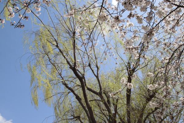 桜と柳120416