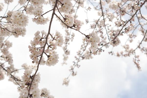 桜3120416